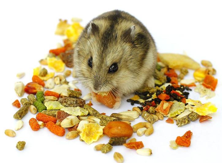 hamster-robo-thich-an-gi